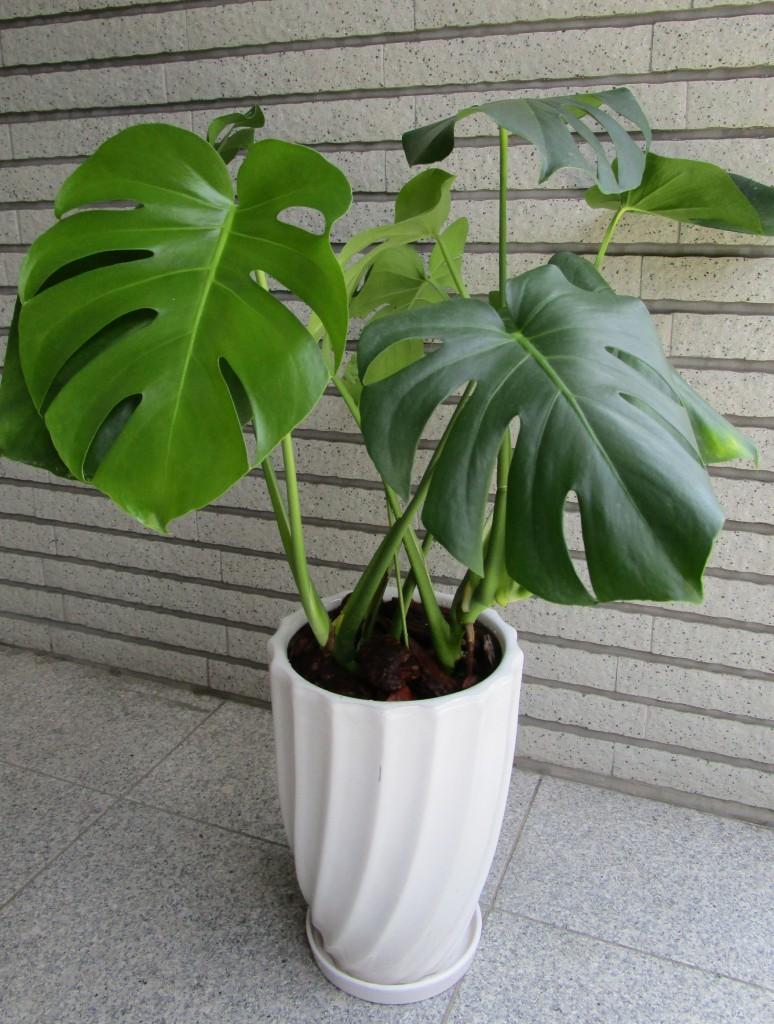 お引越しのお祝いに観葉植物(モンステラ)をお届け